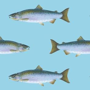 Coho salmon on light blue