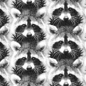 Racoon black and white