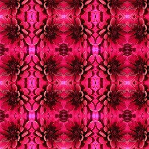 Dahlia in Raspberry