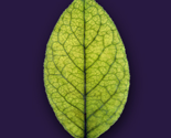 Rgreen_leaf_thumb