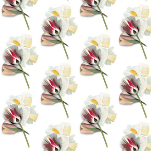 Tulip___Daffs