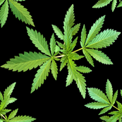 420 Leafy Closeup