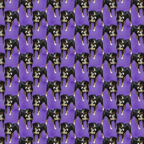 Posing Entlebucher mountain dog - small purple