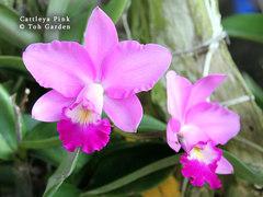 cattleya seedling plants  orchids, klairvoyant orchids, guruvayoor, thrissur, kerala, india