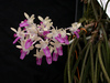 seidenfadenia mitrata orchids, klairvoyant orchids, guruvayoor, thrissur, kerala, india