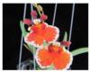 Tolumnia oncidium orchids, klairvoyant orchids, guruvayoor, thrissur, kerala, india
