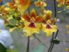 oncidium orchids, klairvoyant orchids, guruvayoor, thrissur, kerala, india