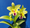 cattleya orchids, klairvoyant orchids, guruvayoor, thrissur, kerala, india