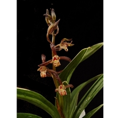 Crescent Of Rose Cymbidium Orchids Elaine Plesser also Imagini Frumoase Cu Flori additionally How To Grow Australian Orchids For A Stunning Display in addition 4402676347 likewise Products. on all images of cymbidium orchids
