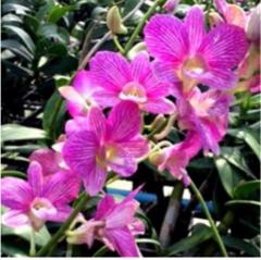 Dendrobium   orchids, klairvoyant orchids, guruvayoor, thrissur, kerala, india, wholesale