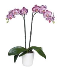 phalaenopsis, orchids, Thrissur, kerala, India