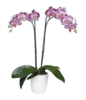 phalaenopsis, orchids, Thrissur, kerala, India