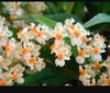 Oncidium  orchids, klairvoyant orchids, guruvayoor, thrissur, kerala, india,   twinkle white