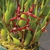 orchids, klairvoyant orchids, guruvayoor, thrissur, kerala, india, Maxillariella tenuifolia