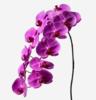phalaenopsis cut flowers , klairvoyant orchids, thrissur, kerala