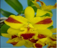 cattleya orchids, klairvoyant orchids, orchids