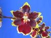 oncidium orchids, klairvoyant orchids, guruvayoor, thrissur, kerala, india, orchids