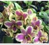 Dendrobium orchids, klairvoyant orchids, guruvayoor, thrissur, kerala, india