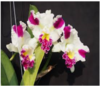 cattleya seedlings,orchids,orchids in thrissur,guruvayoor,kerala,india