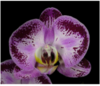 phalaenopsis seedlings,orchid plants, thrissur, kerala, india, klairvoyant orchids, orchids