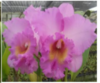 cattleya  plants orchids, klairvoyant orchids, guruvayoor, thrissur, kerala, india, orchid, online sale, orchids