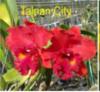 cattleya  plants orchids, klairvoyant orchids, guruvayoor, thrissur, kerala, india, orchid, online sale, orchids