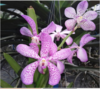 mokara blooming stage plant,  orchids, sale, orchid, thrissur, kerala, india
