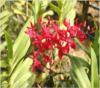 Renanthera orchids, orchids, thrissur, kerala, india