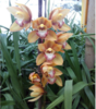 cymbidium blooming stage plant