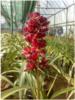 cymbidium plants blooming stage plants, orchids, kerala, thrissur