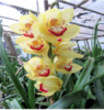 cymbidium blooming size plants  orchids, kerala, thrissur