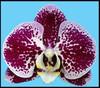 phalaenopsis .orchids,orchids in guruvayoor,thrissur,kerala,india