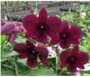 dendrobium seedlings,orchids,orchids in guruvayoor,orchids in thrissur,orchids in kerala,india,klairvoyant orchids