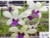 Dendrobium orchids, klairvoyant orchids, guruvayoor, thrissur, kerala, india, orchids