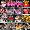 tolumina   orchids, klairvoyant orchids, guruvayoor, thrissur, kerala, india, wholesale