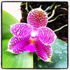 phalaenopsis orchid plants, thrissur, kerala, india, klairvoyant orchids, orchids