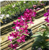 dendrobium seedling plants,orchids,thrissur,kerala,india