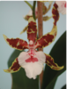 Colmanara Jungle Monarch,oncidium ,orchids,orchids in thrissur,guruvayoor,kerala,india