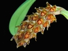 bulb.crassipes,bulbophyllum orchids,orchids in thrissur,klairvoyant orchids,guruvayoor,kerala,india