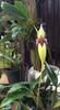 bulbophyllum orchids, orchids, thrissur, kerala, india
