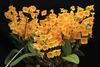 Dendrobium species, orchids