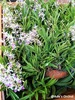 lowana, orchid plants