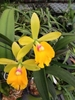 Epc. Rene Marques x Pot. Free Spirit, orchid plants