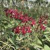 Renanstylis Bangkok Beauty, orchid