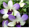 dendrobium orchids, species, kerala, india, online sale, Areedang Blue