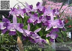 "cattleya orchids, species, kerala, india, online sale, Lc. Cariads Mini Quinee ""Angel Kiss"""
