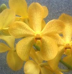 mokkora fullmoon orchids, kerala, india, online sale,