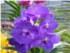 vanda orchids, species, kerala, india, online sale, Pakpanang blue