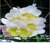 vanda orchids, species, kerala, india, online sale, Piece of eight X rasri gold