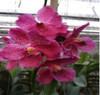 vanda orchids, species, kerala, india, online sale, V.chaopraya xsapphire x dr. anek
